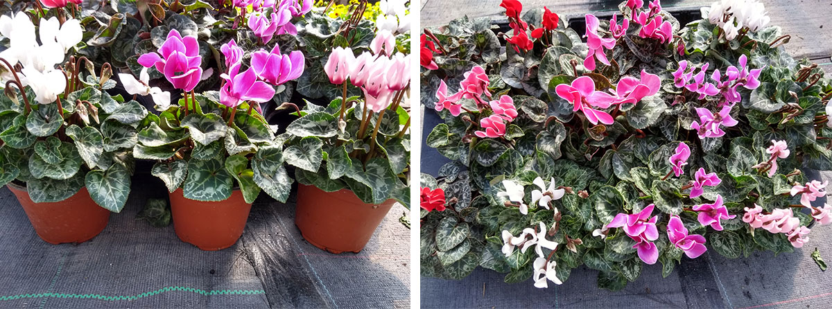 Cyclamen grown at our nursery