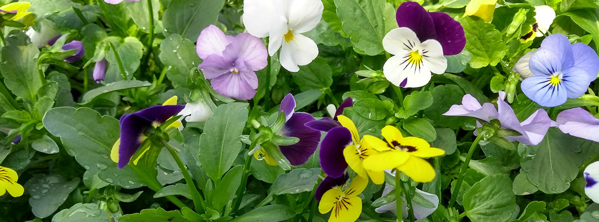 Packs of Violas all home grown