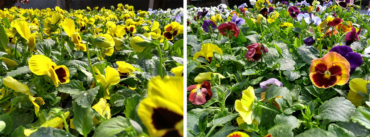 All of our Winter bedding plants are grown by our nursery team.